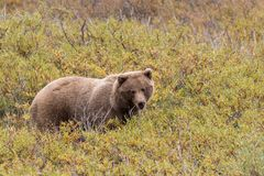 Grizzly Bear on Alert in Alaska Stock Images