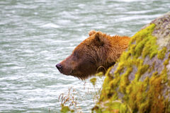 Alert grizzly bear emerges Stock Images