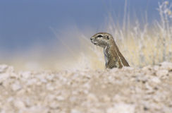 Alert Ground Squirrel Royalty Free Stock Image