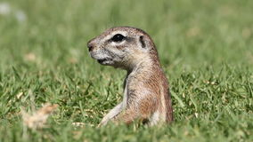 Alert ground squirrel Royalty Free Stock Images