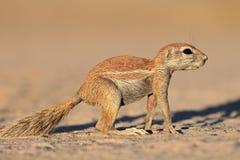 Alert ground squirrel. An alert ground squirrel (Xerus inaurus), Kalahari desert, South Africa Royalty Free Stock Photo