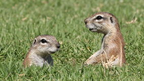 Alert ground squirrels Royalty Free Stock Image