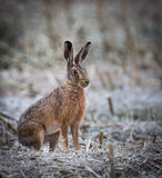 Alert hare sitting in a cropped field on a frosty morning Stock Photos