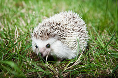 Alert hedgehog Royalty Free Stock Photo
