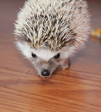 Alert hedgehog on wooden floor Royalty Free Stock Photography