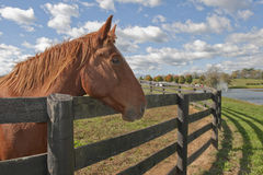 Alert horse behind a fence on a farm. Beautiful bay horse behind a farm fence surrounded by a blue cloud filled sky Royalty Free Stock Images