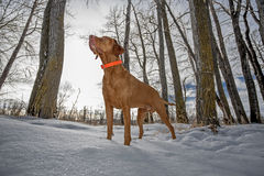 Alert hunting dog in the winter forest. Pointer hunting dog standing alert in the snow in winter setting Stock Images