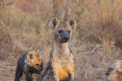 Alert hyena adult 6 Royalty Free Stock Photo