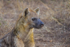 Alert hyena adult 2 Royalty Free Stock Photos
