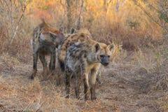 Alert hyena adult 4 Stock Image