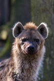 Alert hyena looking to the viewer Royalty Free Stock Photography