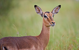 An alert Impala ewe in the African rain. In the Kruger National Park, South Africa stock photo