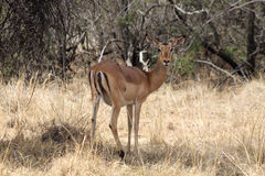 Alert Impala Ewe Looking Backwards Stock Photo