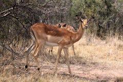 Alert Impala Ewe Stock Photo