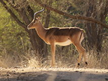 Impala. Alert Impala looking out for danger Royalty Free Stock Photo