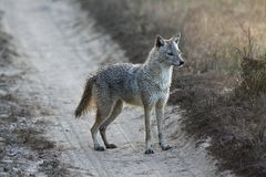 Alert Indian Jackal on Dirt Road in Kanha National Park, India Royalty Free Stock Images