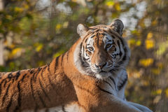 Alert Indian Tiger Stock Images