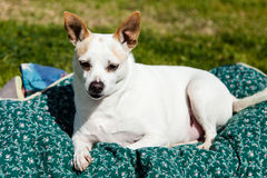Alert Jack Russell Dog Lying in Blankets Stock Photo