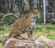 Alert Jaguar on rock Royalty Free Stock Image