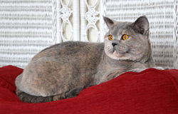 alert kattpedigree Arkivbilder