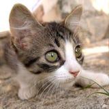 alert kattunge Royaltyfri Bild