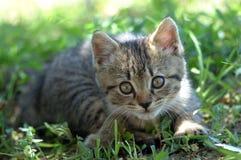 alert kattunge Royaltyfri Fotografi
