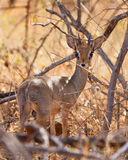 An alert Kirk´s Dik-Dik Royalty Free Stock Photography