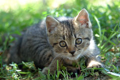 Alert kitten. In the grass royalty free stock photography