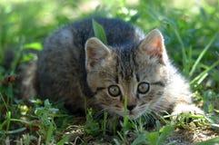 Alert kitten. In the grass play hunter stock photo
