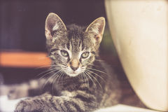 Alert kitten peering through glass. Alert young grey striped tabby kitten lying on the floor peering through glass with an intent stare Stock Images