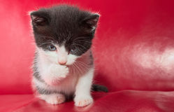 Alert kitten Royalty Free Stock Photo