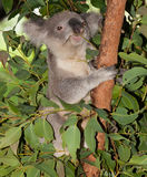 Alert koala in tree stock photo