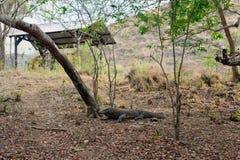 Alert Komodo dragon Royalty Free Stock Image