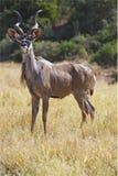 Alert Kudu Stock Photo