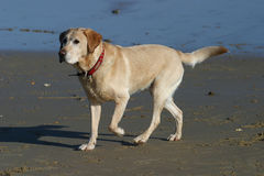Alert Labrador Royalty Free Stock Images