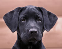 Alert Labrador Pup. A 3 month old labrador pupy with a face that is to adorable to resist stock photos