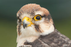 Alert Lanner falcon Royalty Free Stock Photography