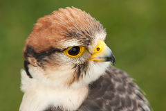 An alert Lanner Falcon Stock Photography