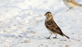 An alert Lapland longspur standing on snow Stock Photo