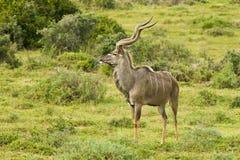 Alert large kudu Royalty Free Stock Images