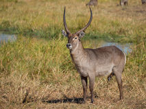 Alert large male African water buck antelope standing in front of river and reed, safari in Moremi NP, Botswana Stock Photo