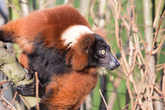 Alert lemur outdoors. Clinging to a branch with its head turned sideways staring straight ahead royalty free stock photo