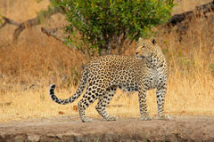 Alert leopard. (Panthera pardus), Sabie-Sand nature reserve, South Africa Royalty Free Stock Photos