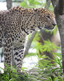 Alert Leopard Ready to Attack Stock Photo