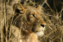 Alert Lion in Grassland Royalty Free Stock Photos