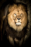 Alert lion staring balefully at the camera. Alert male lion with a full mane staring balefully at the camera out of the darkness as if to say - I am watching you royalty free stock photo