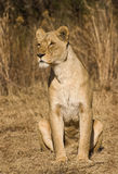 alert lioness Royaltyfri Fotografi
