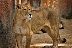 Alert Lioness. An alert lioness standing ready Royalty Free Stock Photos