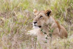 Alert lioness resting in the long grass of the Masai Mara stock photography