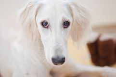 An alert little cute white saluki puppy persian greyhound is relaxed and staring to the camera. In Finland royalty free stock photography